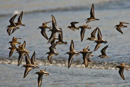 Flock Dunlin In Flight, Oregon Coast Stock Photo