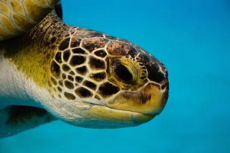 Closeup of a Loggerhead Turtle showing eyes and mozaic textured skin.