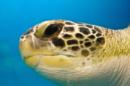 Loggerhead Turtle Closeup show eye