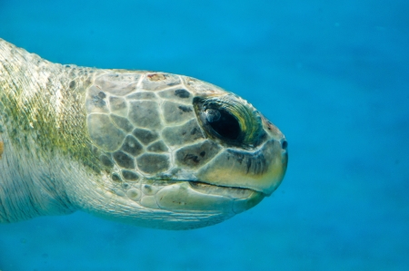 Loggerhead Turtle Closeup on blue backdrop Stock Photo - 17972565