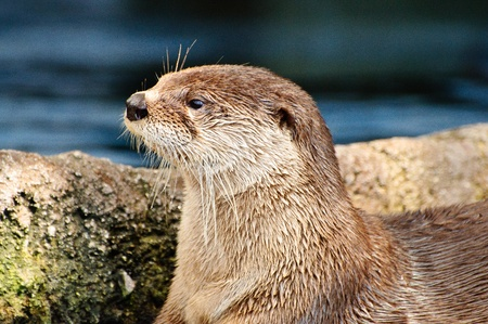 Close up of an Otter looking to the left Stock Photo