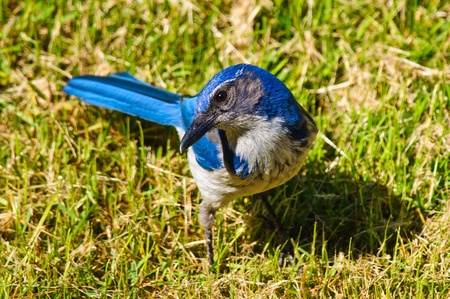 Close up of a Bright Blue Scrub Jay, standing on grass