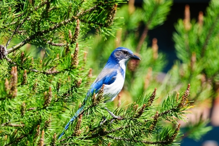 Bright Blue Scrub Jay perched in pine branch
