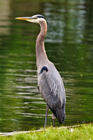 Close up of a Large Blue Heron on rivers edge photo