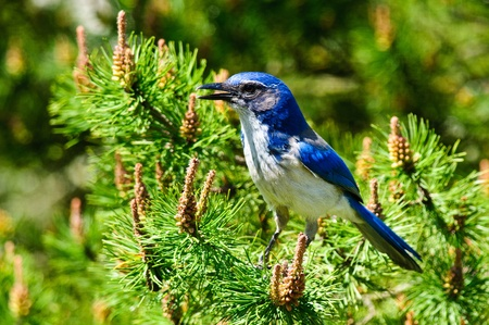 Closeup  of a Blue Scrub Jay perched in pine branch Stock Photo