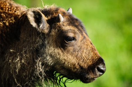 Closeup portrait of the head of a young Bison Calf, taken in Yellowstone National Park,Wyoming