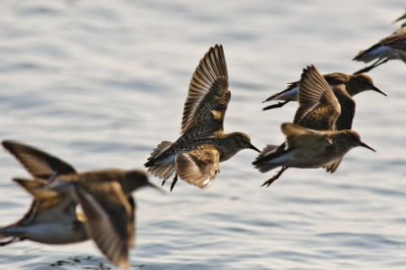 Wild Dunlin flying on the Oregon Coast Stock Photo