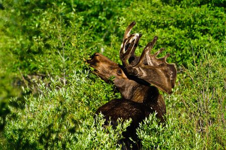Bull Moose feeding on leaves, Grand Tetons NP, Wyoming