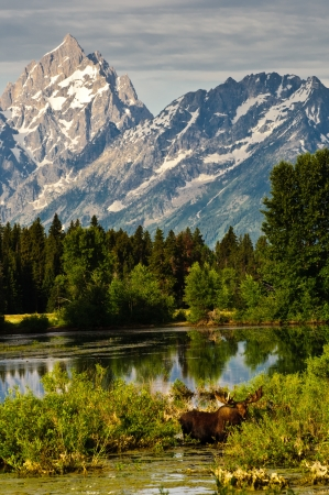 Bull Moose at a lakeside and the Teton Mountains behind