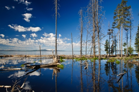 Yellowstone Lake Reflection of old pine trees with distance snowy mountains