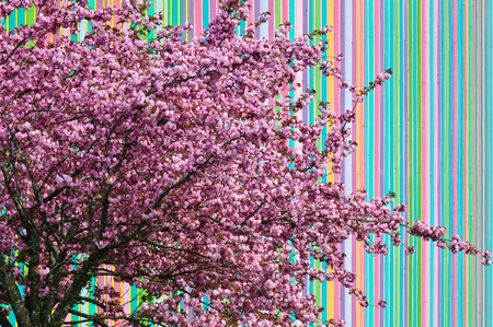 Bright pink wild Cherry Blossom with a pastel rianbow colored vertical background texture Stock Photo - 18090366