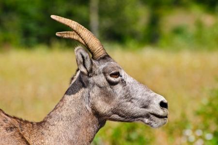 Close up of a bighorn mountain sheep Ewe