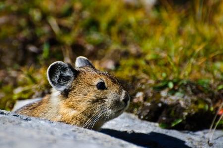 Close up of an alpine Pika, Banff national park Stock Photo - 18139091