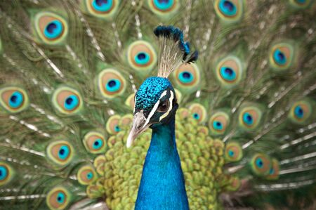 Beautiful color peacock with feather blue in zoo Stock Photo - 4152360