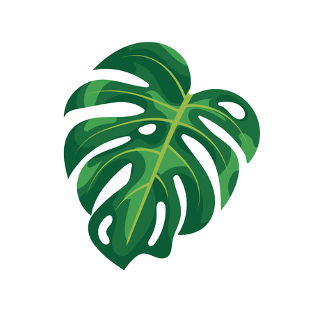 Tropical palm leaves monstera isolated on white background. Green foliage of tropical monstera tree on white background. Natural rainforest plants and houseplant, summer exotic garden