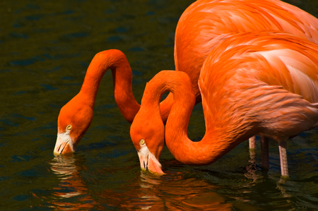 immersed: Two flamingos mirroring each other whilst drinking Stock Photo
