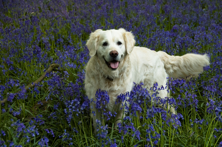 romp: A white labrador playing deep in among bluebells.