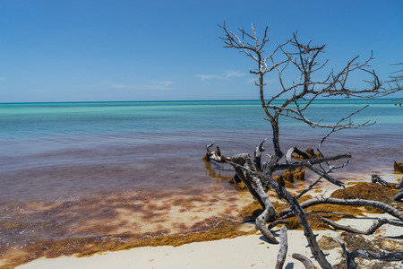 sapless: Dramatic looking sapless tree and orange seaweed at the beach under tranquil blue sky and turquoise ocean
