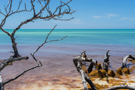 sapless: Dramatic sapless tree branches and orange seaweed at the beach under tranquil blue sky and turquoise ocean