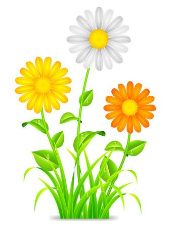 Daisy chamomile flowers  Vector