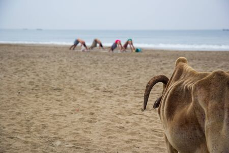 sailboard: Cow looks at the yogis in the early morning in India, Goa Stock Photo
