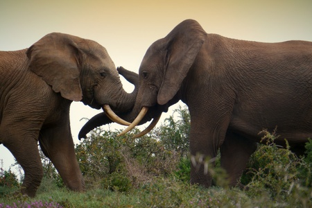 kruger national park: two elephants wrap trunks