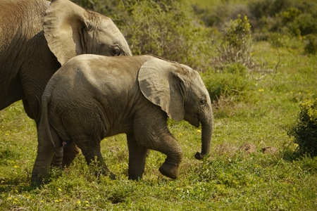 kruger national park: baby elephant walking