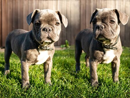 French bulldog puppy little dog grey garden . High quality photo
