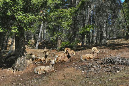 Goats Stock fotó