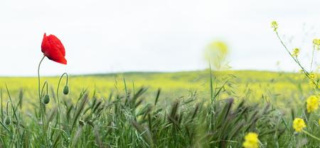 Paisaje de campo de primavera de amapolas rojas. Cerrar fondo Foto de archivo