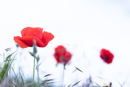 Red poppy spring field landscape. Close up background Stock Photo