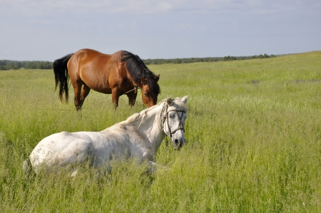 Two horses graze on a green meadow  photo
