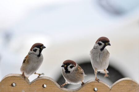 Three sparrows  photo