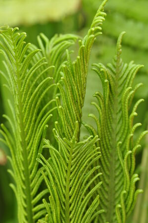 Young fern leaves