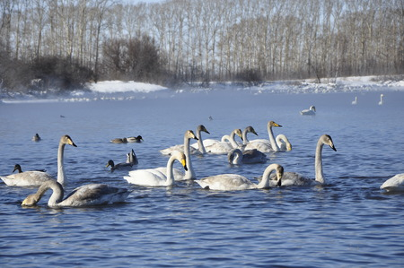 wintering: Swans and ducks on the lake. Stock Photo