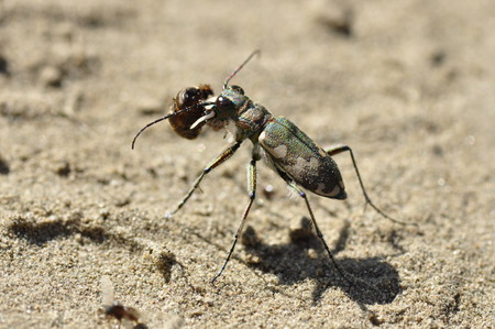 cicindelinae: Tiger beetle Cicindela standing on the sand and eating an ant.