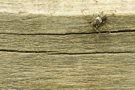 cerambycidae: Beetle on the wood. Stock Photo