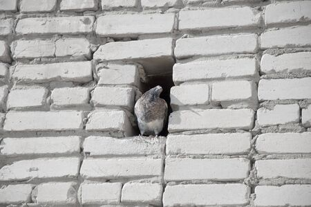 recess: Dove sits in a recess of brick wall. Stock Photo