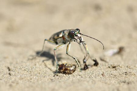 cicindela: Tiger beetle Cicindela standing on the sand and eating an ant.