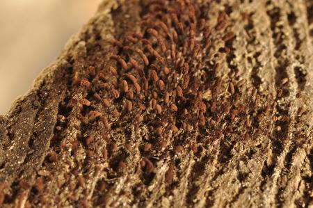 Microfungi on wood. Stock Photo