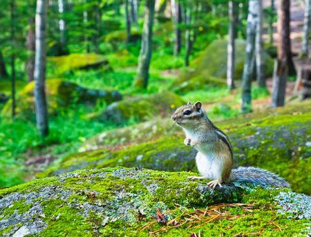 Siberian chipmunk (Eutamias sibiricus) sitting hind legs on a mossy stone Stock fotó