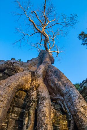 Huge withered roots of banyan tree growing out the ruin of Ta Prohm, Angkor Complex, Siem Reap, Cambodia Stock Photo