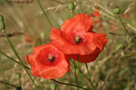 blumen: poppy flower