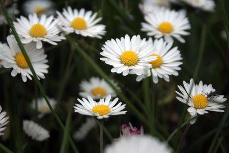 blumen: daisies