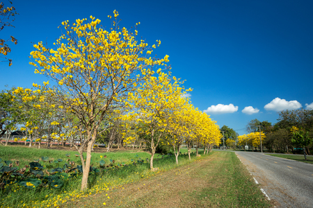 Golden trumpet tree at Park in Pibulsongkram Rajabhat University landscape at blue sky background. Phitsanulok, Thailand.