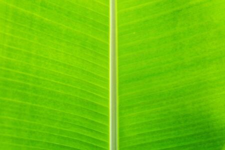 Green banana leaf tropical palm foliage texture background.