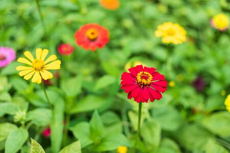 Common Zinnia (elegant zinnia) beautifully with green leaves background in the garden.