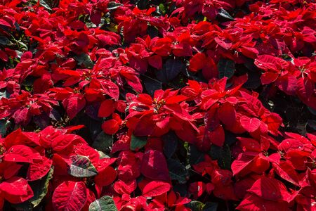 Red Poinsettia flower or Euphorbia Pulcherrimaon of red Christmas background in the garden.