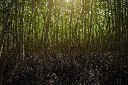 The forest mangrove in Chanthaburi Thailand.