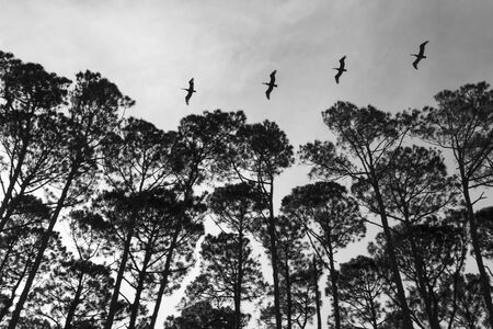 A line of herons flying over a South Carolina coastline Stock Photo